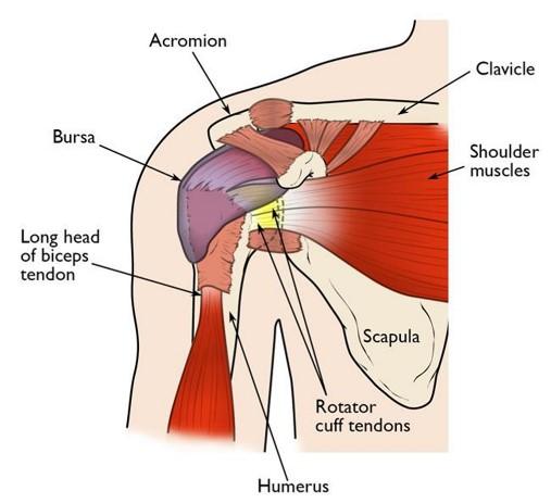 anatomical shoulder diagram